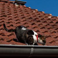 ...sie bremste elegant an der Dachrinne. Und selbst wenn nicht: Die Höhe ist für eine fitte Katze noch kein Problem, im Gegenteil, denn der Stellreflex braucht eine Mindesthöhe...