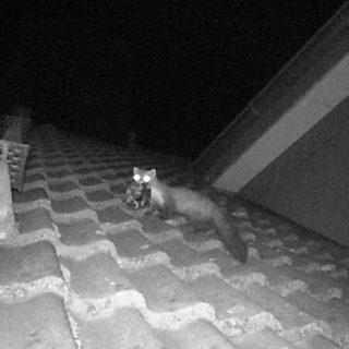 Steinmarder auf dem Dach