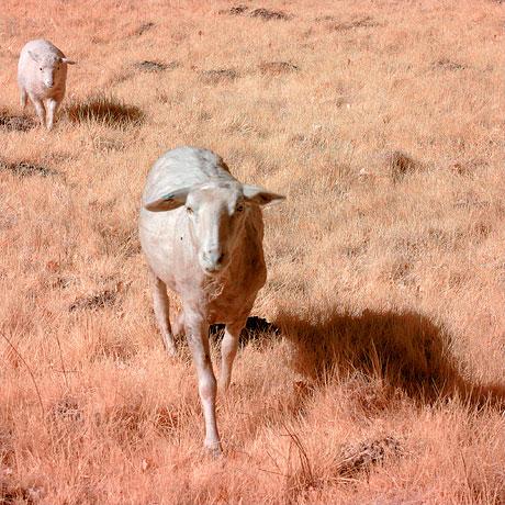 Mutterschaf mit Lamm (2.)